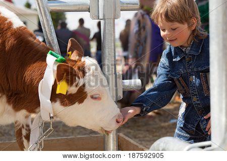 child feeds brown calf.