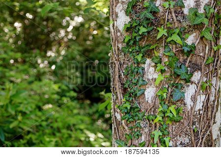 Ivy growing up a beautiful tree with a shallow depth of field and space for text.