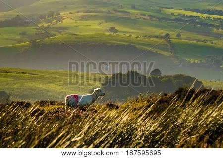 Landscape of white sheep in the long grass of a field durng golden hour. Rolling hills of English farmland in the background.