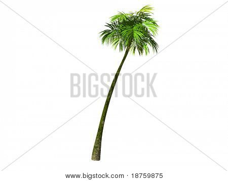 tropical palm-tree isolated rendered on white
