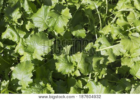 Turnip greens Brassica rapa genus are the leaves of the turnip plant