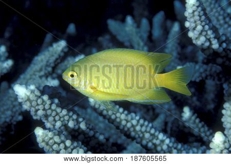 A Lemon Damselfish, Pomacentrus moluccensis swims among branches of coral on a reef in Palau