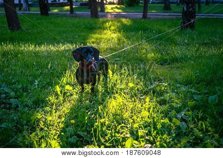 dachshund in sunset rays in local park