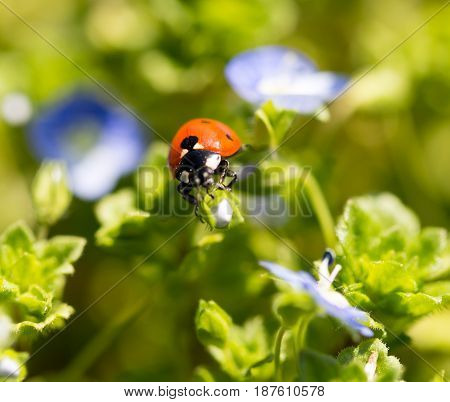 Ladybug on small blue flowers in nature .