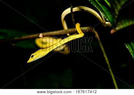Yellow snake on branch in rain forest