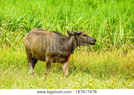 Young brown buffalo in grassland in rural