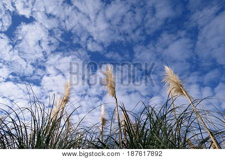 Tall Feather Reeds grass growing by pond reaching towards a blue cloudy sky