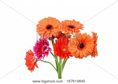 Photo of Gerber flowers on white background