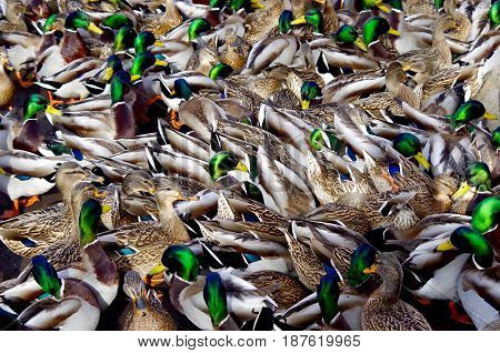 A large group of feeding Mallards make a confusing pattern of green heads and brown feathers.