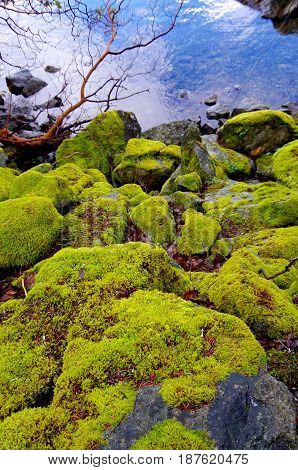 Moss covered boulders are pictured on the shore of Saanich Inlet BC. The bright green of the moss contrasts with the blue of the water and the red branch of the arbutus tree.