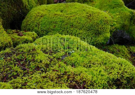 The lush green of moss covered boulders is the subject of this photo taken in Saanich Inlet BC. A close-up of moss with moss covered boulders in the background shows that this area gets lots of rain in the winter to support so much green.