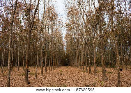 Rubber trees in autumn garden nature .