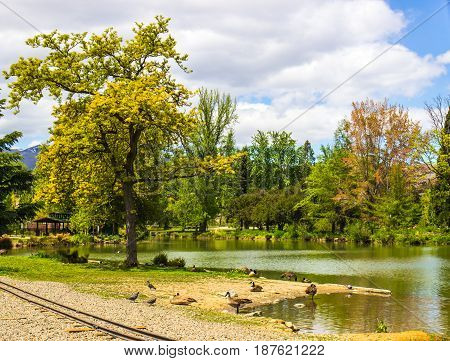 Blooming Trees In Springtime With Ducks Around Pond