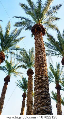 Palms View From The Bottom And Blue Sky In Ein Gedi