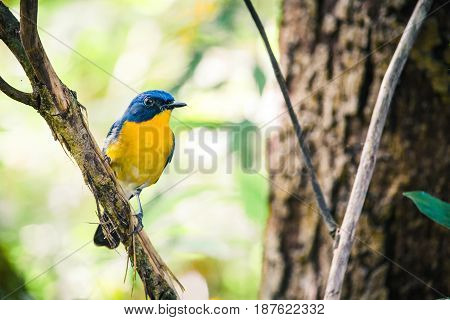 A Tickell's Blue Flycatcher (cyornis Tickellae) Sits Perched On A Low Lying Branch In The Forest Und