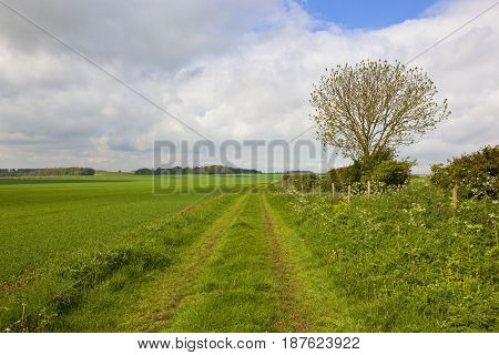 Minster Way With Ash Tree