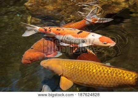 Koi Fish, Cyprinus Carpio Haematopterus