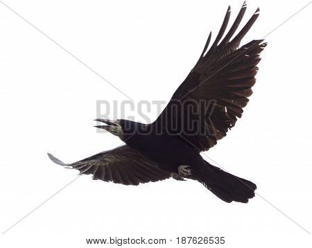 Raven in flight isolated on white background .