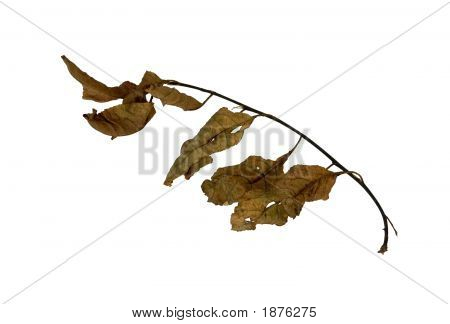 Isolated macro dead tree leaves on a white background poster