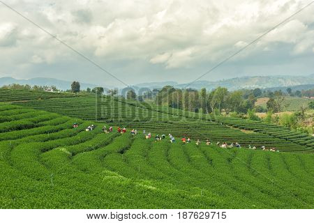 CHIANG RAI THAILAND - DEC 8: Women from Thailand breaks tea leaves on tea plantation on December 8 2015on a tea plantation at Chui Fong Chiang Rai Thailand.