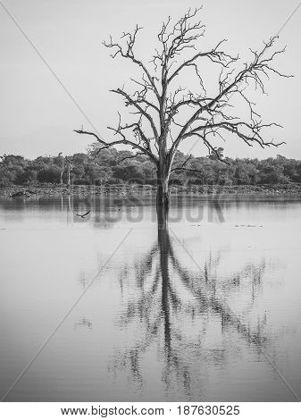 Drowned Trees In The Reservoir At Udawalawe National Park, Sri Lanka.