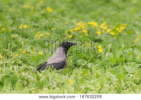 Portrait of a crow on a spring meadow with flowers
