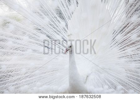 Portrait Of White Peacock During Courtship Displaywhite peacock shows its tail (feather)