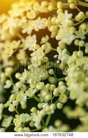 Blooming elder bush close up selective focus