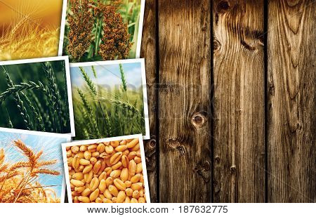 Cereal plant farming in agriculture photo collage collection of photos depicting growth and harvesting of cereals