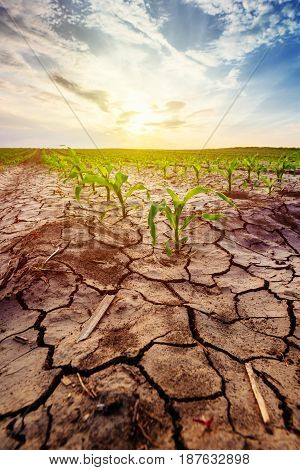 Drought in cultivated corn crop field young maize plants growing in harsh environment