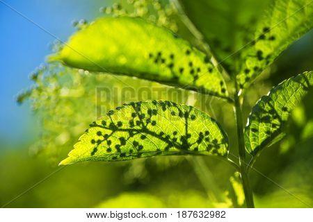 Blooming elder or elderberry bush leaves close up selective focus