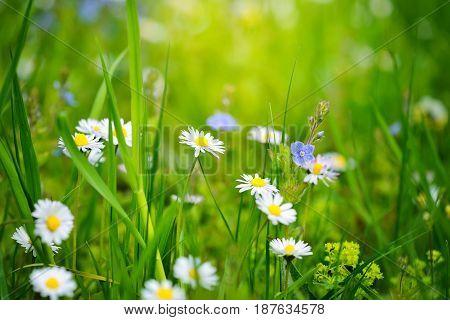 Closeup Of Daisy In Garden. Bellis Perennis