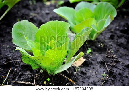 Young Cabbage Growing In The Field. Cabbage Seedlings In The Garden, Selective Focus, Blur.