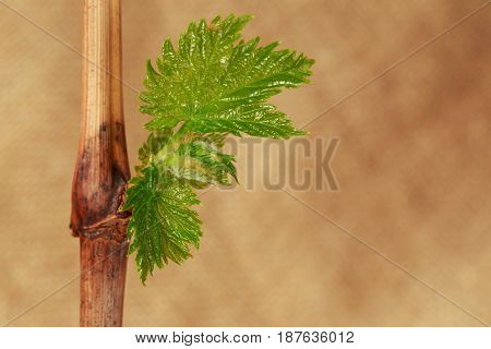 Young green sprouts of grapes on a fabric background