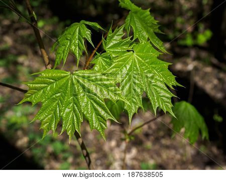 Young maple leaves close-up in the forest in spring.