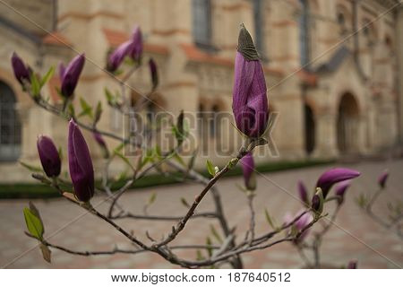 Buds magnolia saturated fuchsia on the background of the ancient cathedral