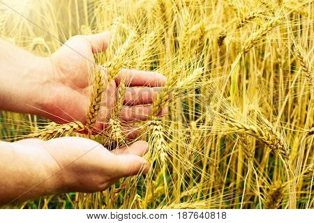 Human hands hold wheat in a golden wheat.