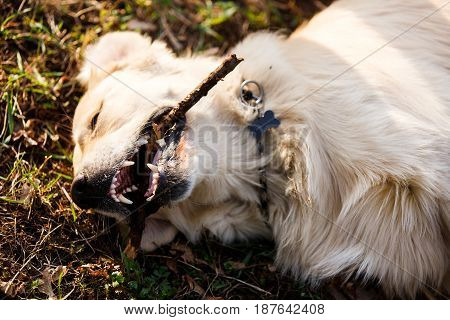Photo of dog lying on lawn with stick in mouth
