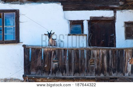 A goat on wooden terrace Of the traditional Alpine house