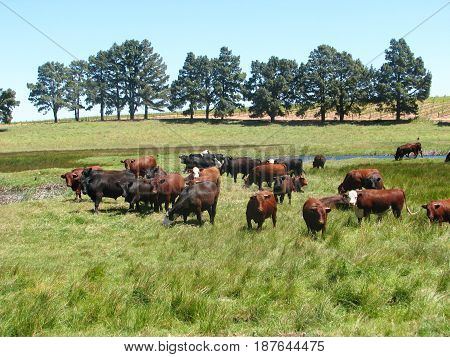 FROM WESTERN CAPE, SOUTH AFRICA, CATTLE GRAZING 24nuh