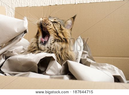 Brown tabby Maine Coon cat sitting yawning in his most loved cat bed a cardboard box filled with packaging paper.