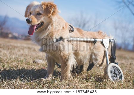 Handicapped dog in a wheelchair posing for a photo