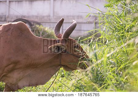 Cow Eating Fresh Grass In Grass Field In Morning. Organic Cattle Farm. This Image For Mammal,animal,