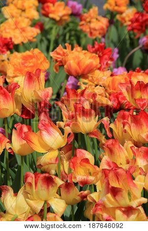 Stunning image of bright and colorful orange and red tint of tulips in landscaped garden.