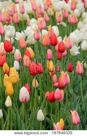 Vertical image of bright and colorful tulips in landscaped garden