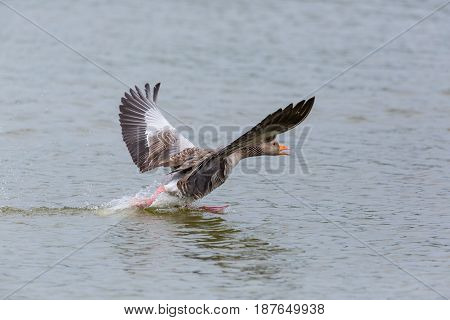 natural gray goose (anser anser) running on the water surface