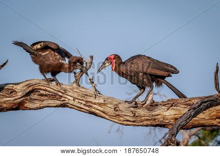 Southern Ground Hornbill With A Kill.