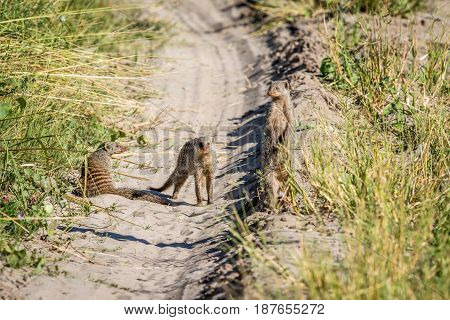 Three Banded Mongooses On The Road.