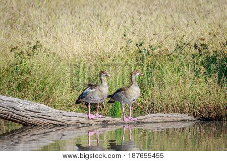 Two Egyptian Geese Sitting On A Branch.