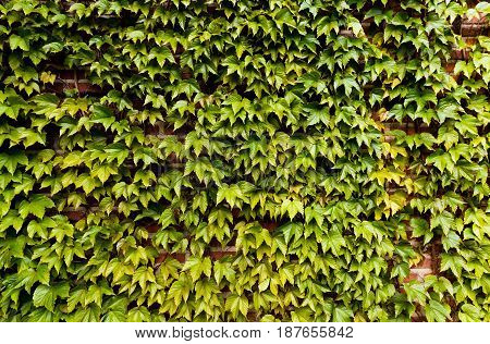 Green creeper vine covering a brick wall